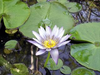 Lotus bleu, Nymphaea nouchali