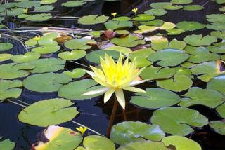 Lotus Jaune Nymphaea Eldorado
