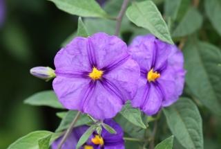 Lycianthes rantonnetii. Fleur.
