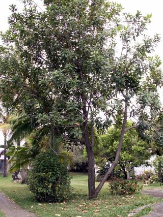 Macadamia integrifolia Maiden et Betche.