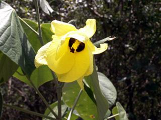 Hibiscus tiliaceus L.