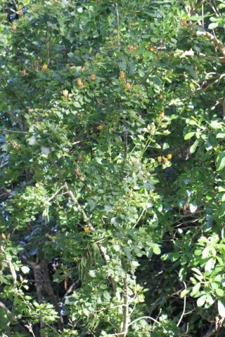 Hibiscus columnaris Cav. Mahot rempart.