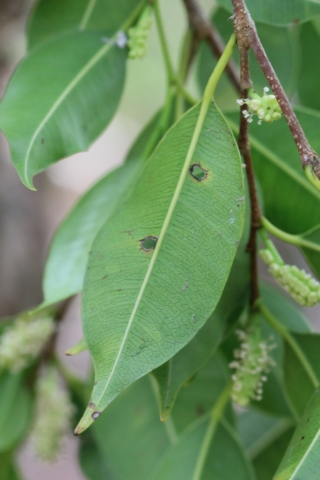 Maillardia borbonica Duch.
