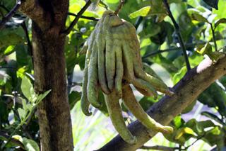 Citrus medica Digita. Cédratier Main de Bouddha.
