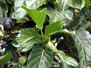 Feuilles. Morinda citrifolia L.