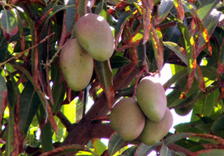 Manguier et ses fruits les mangues. Mangifera indica
