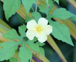 Momordica charantia L.