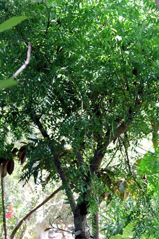 Azadirachta indica. Margousier.