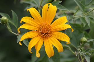 Tithonia diversifolia (Hemsl.) A. Gray. leur fête des Mères. Tournesol mexicain.