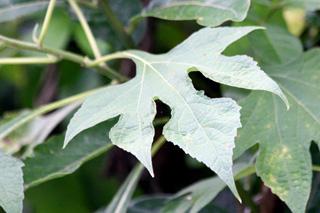 Tithonia diversifolia (Hemsl.) A. Gray.