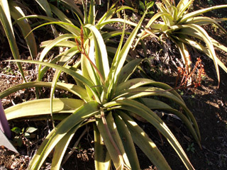 Aloe macra Haw.