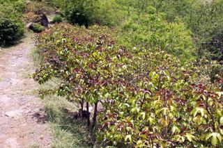 Jatropha gossypiifolia. Médecinier sauvage.