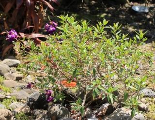 Melastoma malabathricum L. Rhododendron de Malabar.