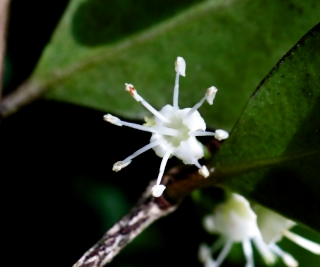 Memecylon confusum Blume.