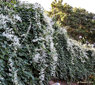 Mikania micrantha Kunth.