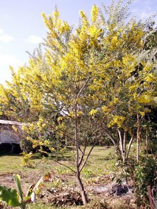 Mimosa ou mimosa d'hiver - Acacia dealbata.