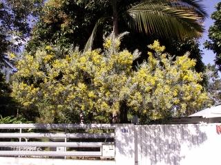 Acacia dealbata Link.