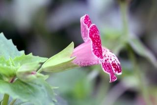 Fleur : Mimule.