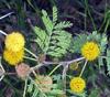 Acacia farnesiana (L.) Willd