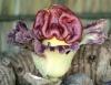 Amorphophallus paeoniifolius (Dennst.) Nicolson