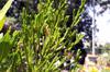 Erica reunionensis E.G.H. Oliv