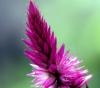 Celosia argentea L