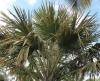 Corypha umbraculifera L
