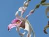 Orchidée antilope