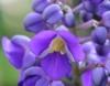 Dichorisandra thyrsiflora JC Mikan