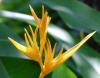 Heliconia acuminata A.Rich