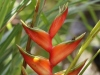 Heliconia bihai (L.) L