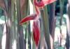 Heliconia vellerigera Poepp