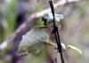 Humbertacalia tomentosa (Lam.) C. Jeffrey
