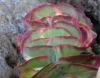 Kalanchoe thyrsiflora Harv