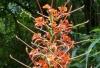 Longose à fleurs rouges, Hédychie écarlate