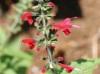 Salvia coccinea Buc'hoz ex Etl