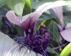 Fleur chauve-souris