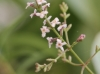 Aloysia citriodora Palau