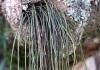 Vittaria isoetifolia Bory