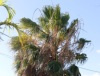 Washingtonia robusta H. Wendl