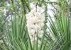Yucca gloriosa L