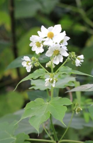 Montanoa hibiscifolia Benth. Marguerite de mai.