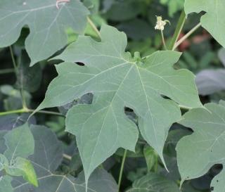 Montanoa hibiscifolia Benth. Feuille.