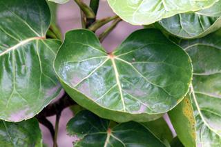 Polyscias scutellaria (Burm.f.) Fosberg. Polyscie scutéllaire. Aralia de Balfour. La moque.