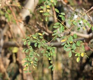 Moringa oleifera, feuilles.