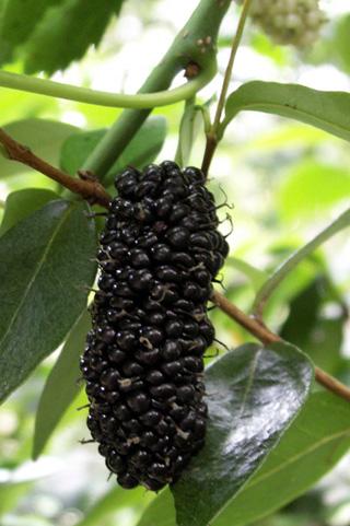 Morus nigra L. Mûrier noir.