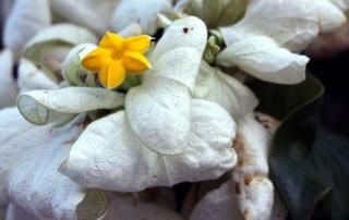 Fleur Mussaenda philippica.
