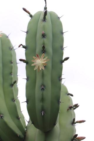 Myrtillocactus geometrizans.