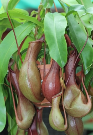 Nepenthes alata Blanco.