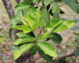 Nephelium lappaceum.